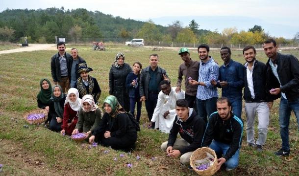 Yabancı Öğrenciler Safran Hasadı Yaptı